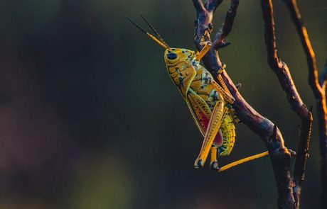 Insect Grasshoper