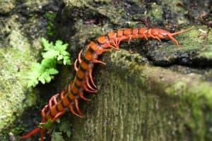 Texas home centipedes