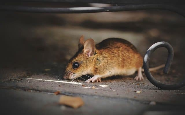 rodents rat in Texas