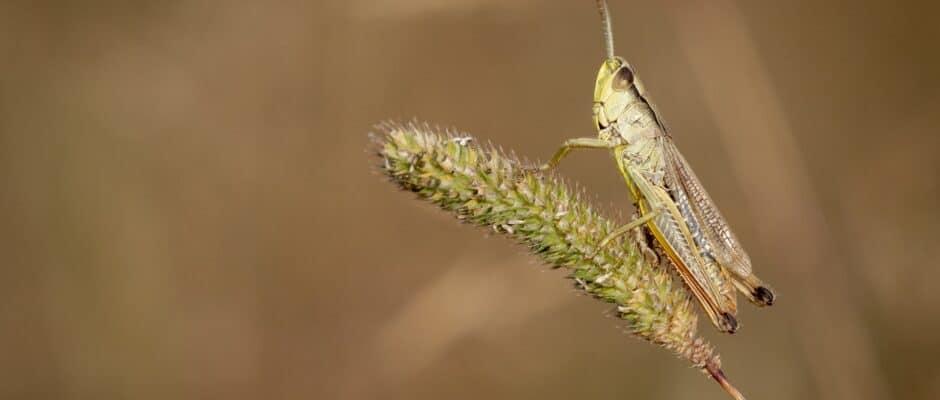 Cricket Pest
