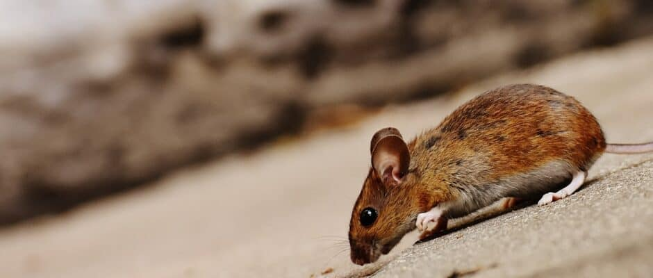 rodent control in Plano